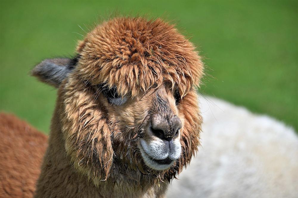 Overnachten tussen alpaca's: een leerzame ervaring!