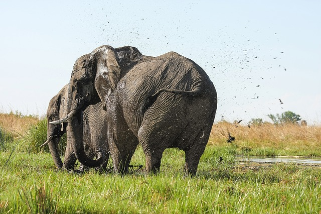 olifant in okavanga