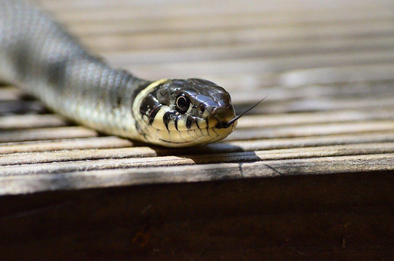Slangen spotten tijdens de vakantie in Nederland